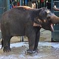 遊】很聰明的大象