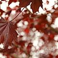 加拿大的楓葉