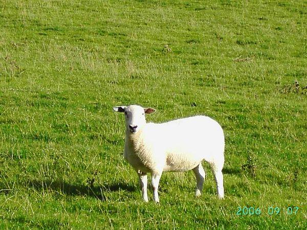 Slaidburn (4) - 這隻羊大概是第一次看到黃皮膚、黑頭髮的人吧! 哈哈! 一直盯著我看咧!