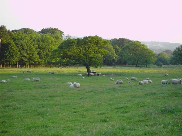 12. More Sheep