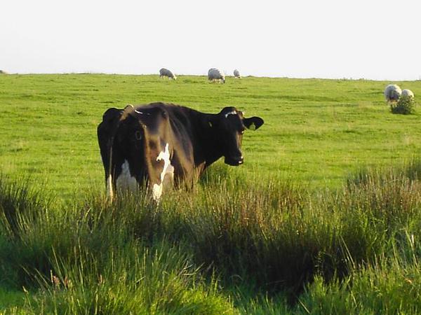 13. Cows