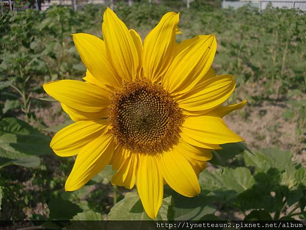 06. Sun flower(s) in Qiaotou [橋頭向日葵花海]