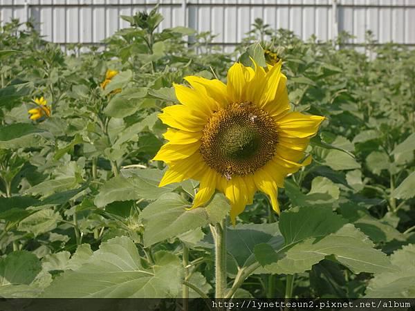 12. Sun flower(s) in Qiaotou [橋頭向日葵花海]