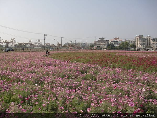 19. Flower sea in Qiaotou [橋頭花海]