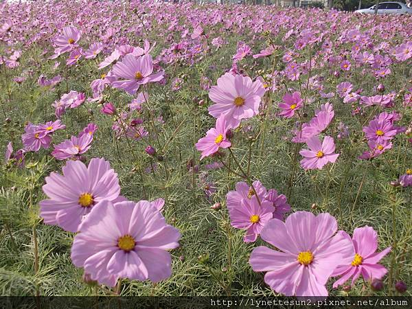 29. Flower sea in Qiaotou [橋頭花海]