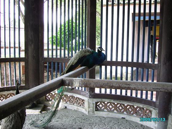 12. A peacock.JPG