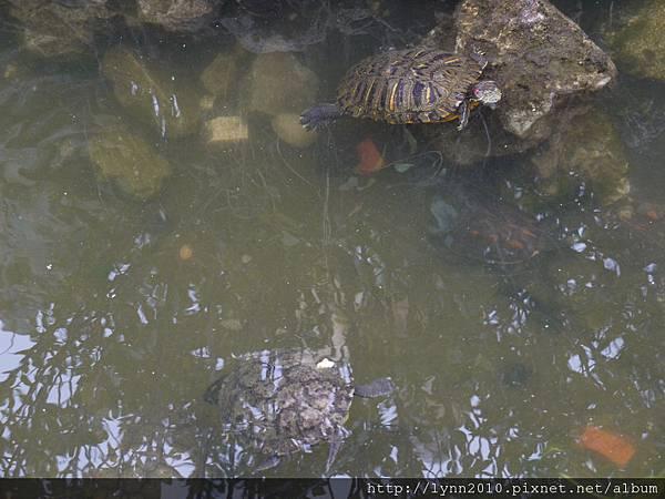 香山寺池中的長壽龜