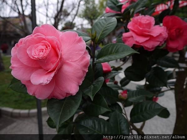 清水岩寺 茶花 開的很像玫瑰花