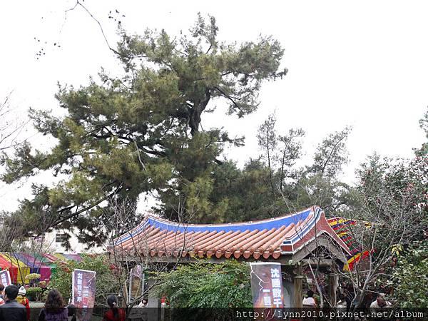 黑松:清水岩寺說~樹形像龍抬頭~