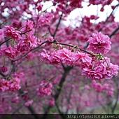 台中大坑濁水巷櫻花林 (3)
