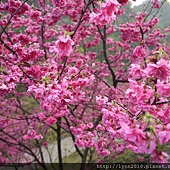 台中大坑濁水巷櫻花林 (4)