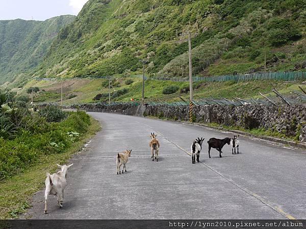 P1120735蘭嶼 羊逛大馬路