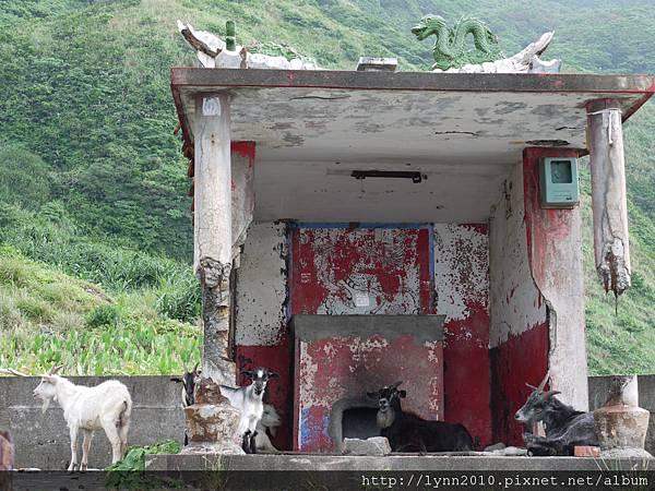 P1120744蘭嶼 羊兒變成土地公了