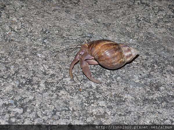 P1130376蘭嶼 野銀262 穿著蝸牛殼的寄居蟹