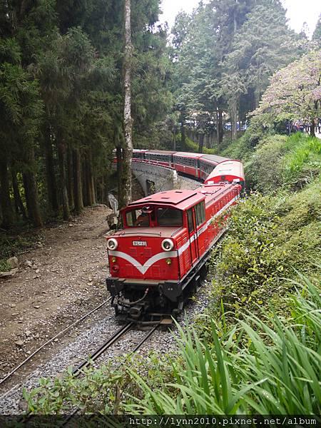 阿里山-森林37  小火車來囉!
