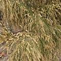 梧棲觀光漁港 好像小麥