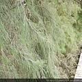 梧棲觀光漁港 步道與針葉