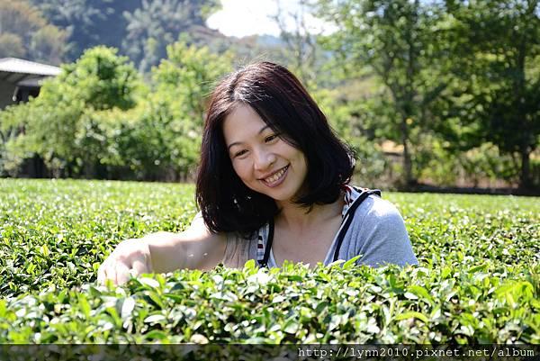 草坪頭-偽成採茶人
