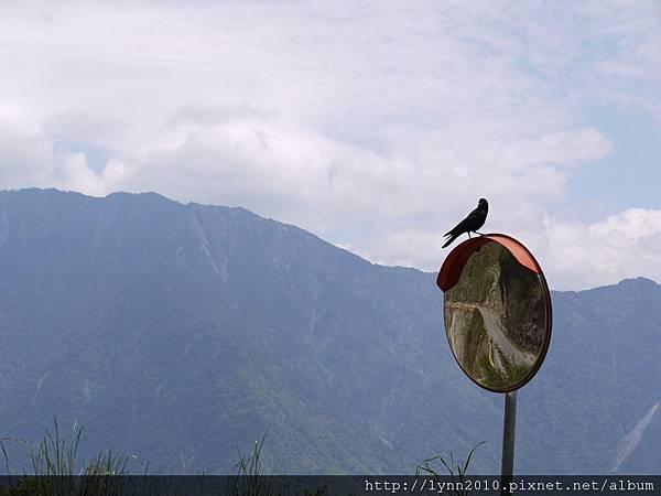 玉山- 它是烏鴉…真的會呀呀的叫