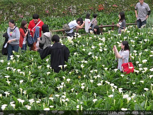 陽明山竹子湖-海芋04 到處都有人採花
