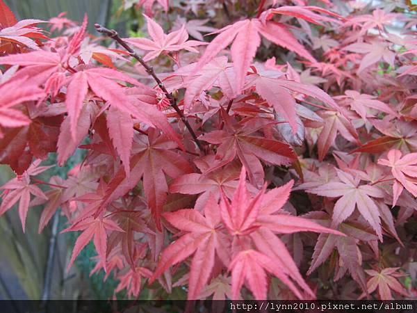 陽明山竹子湖-小紅葉