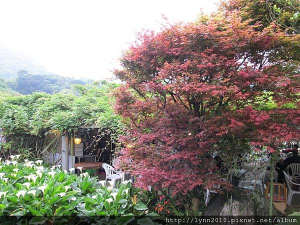 陽明山竹子湖-小紅葉與海芋