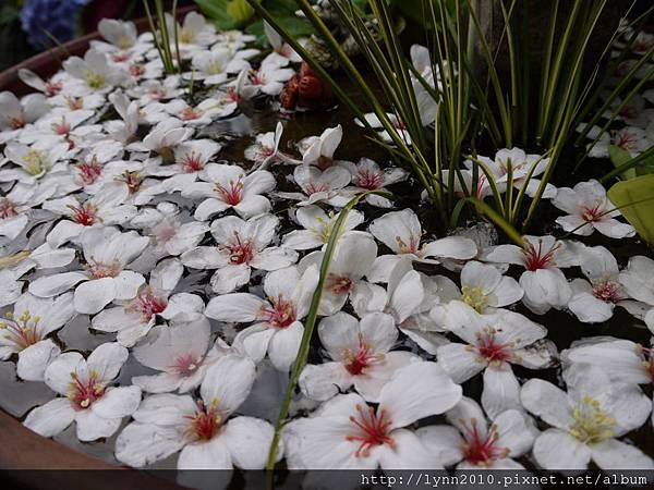 桐花滿池-山形玫瑰