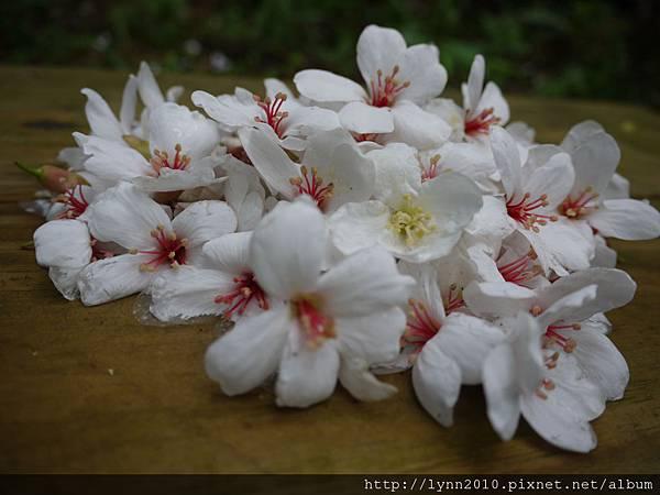 桐花-山形玫瑰