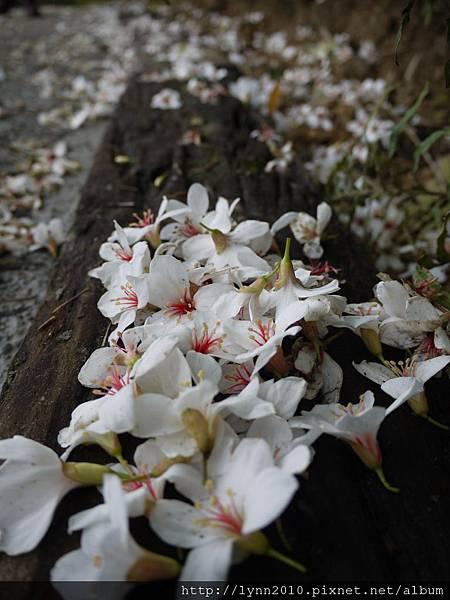 未及五月之四月落花-山形玫瑰