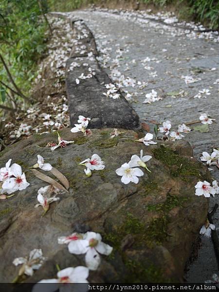 桐花落滿地-山形玫瑰