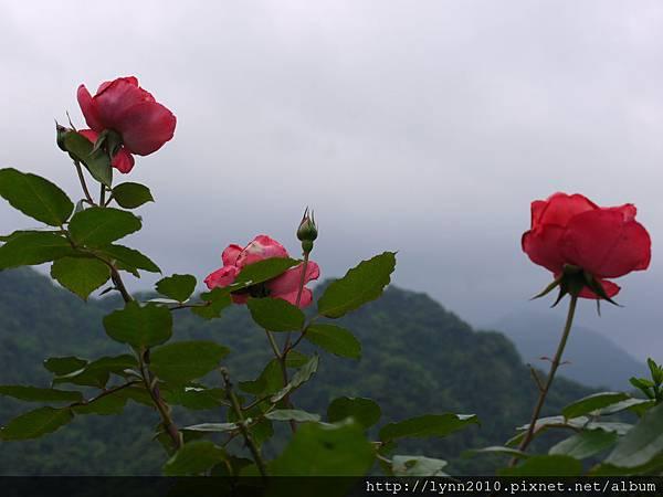 玫瑰花與遠朓山景成就-山形玫瑰