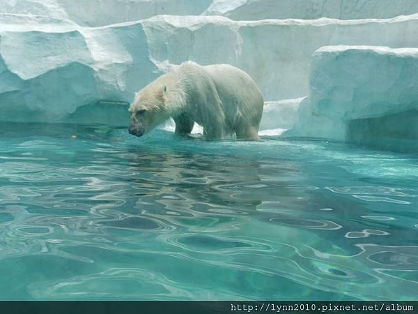 東京-Day 2-上野動物園 (39) 北極熊