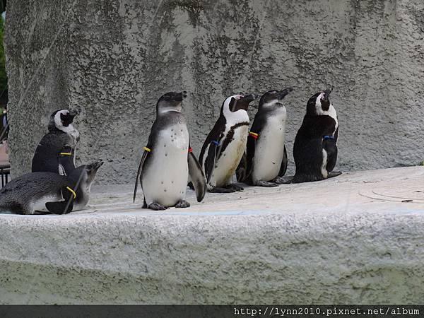 東京-Day 2-上野動物園 (71) 企鵝