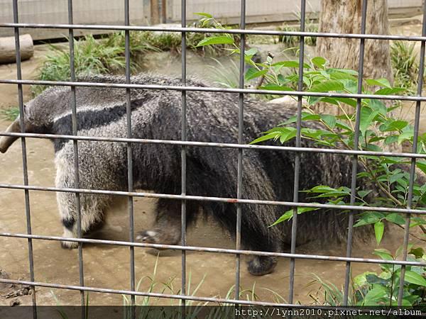 東京-Day 2-上野動物園 (81) 食蟻獸