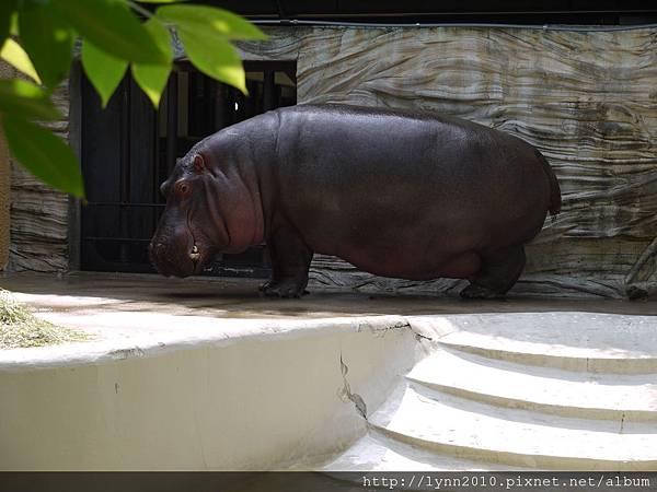 東京-Day 2-上野動物園 (90) 好大一隻河馬