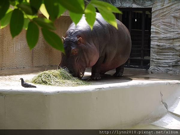 東京-Day 2-上野動物園 (91) 河馬吃飯了!