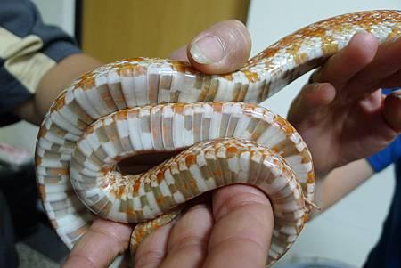 英文課+動物課玉米蛇+刺蝟+Updownaround學習單 105