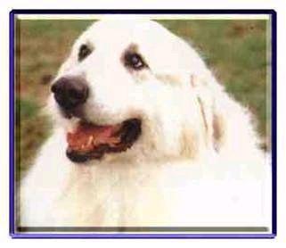 大白熊犬-大