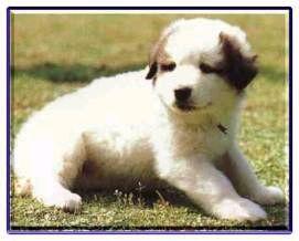 大白熊犬-小