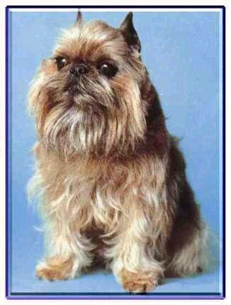 比利時粗毛獵犬