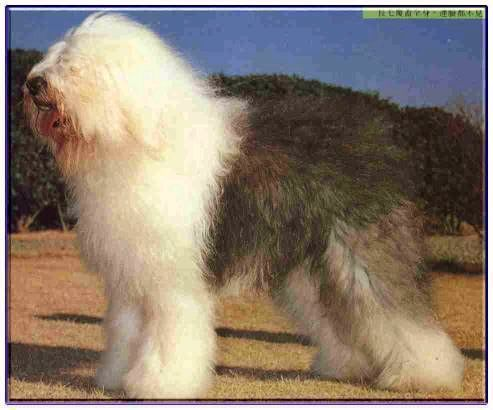古代英國牧羊犬-大