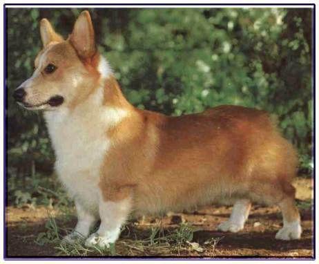 威爾斯柯基犬<潘布魯克犬>