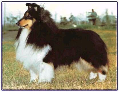 喜樂蒂牧羊犬-黑