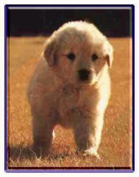 黃金獵犬-小
