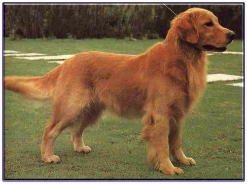 黃金獵犬-大
