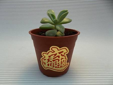 多肉植物辦公室療癒小物可愛石蓮花