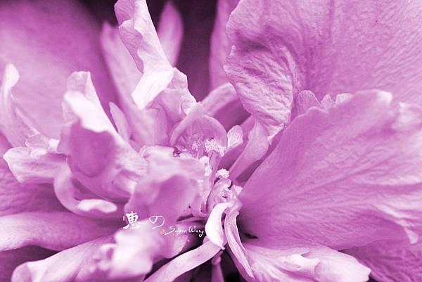 IMG_2793m紫色無憂花
