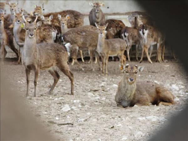 鹿超容易受驚嚇
