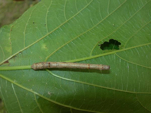 48尺蛾的幼蟲稱尺蠖