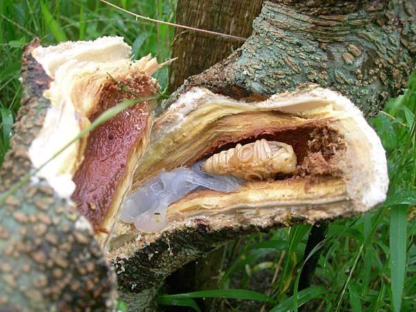 24住在桑椹樹裡的快要雨化成蟲天牛寶寶